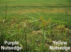 yellow-purple-nutsedge-250